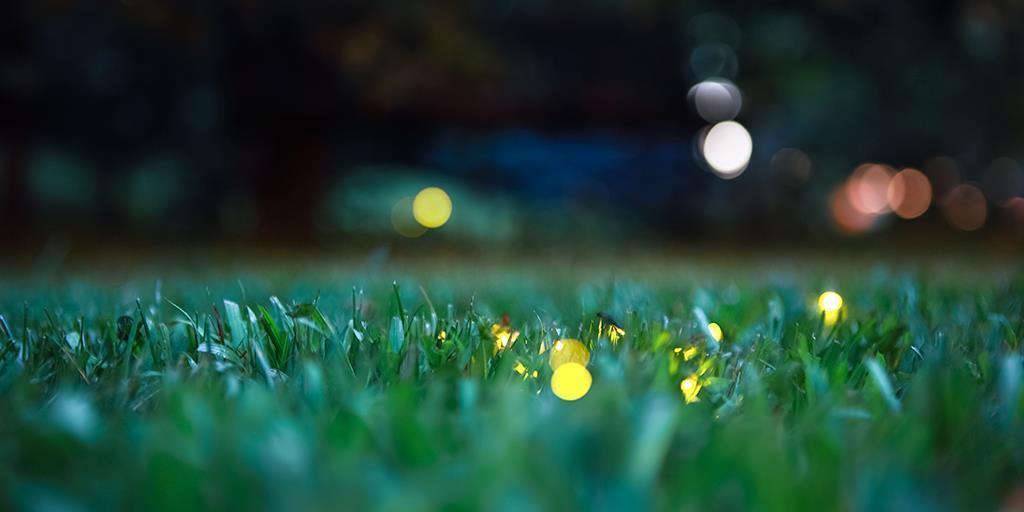 Pennsylvania's Fireflies