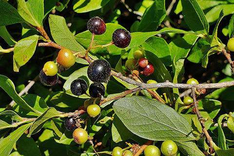 Black Huckleberry.jpg