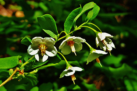 Deerberry flowers3.jpg
