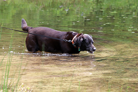 Dog_Drinking_Lake_Water.jpg