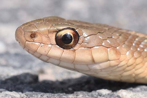 BLOG IMAGE - Close up view of an Eastern Gartersnake's eye.jpg
