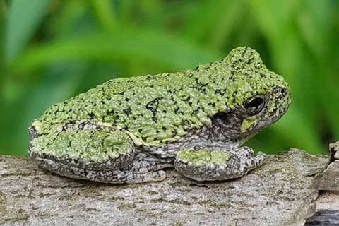 BLOG IMAGE - Grey Tree Frog, Clearfield County.jpg