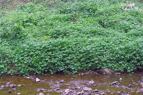 A large growth of green vines and leave cover the bank of a small stream