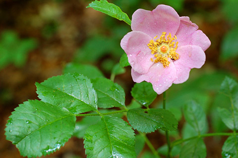 Meadow_rose_E.Burkhart SIZED.jpg