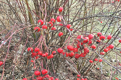 Bright red rose hips plant