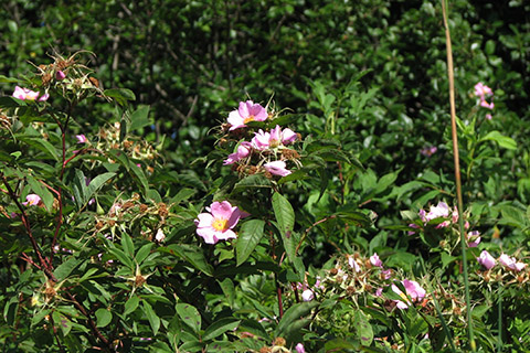 Swamp_rose_R.Gleason SIZED.jpg