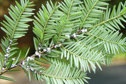 Woolly Adelgid Blog 2.jpg