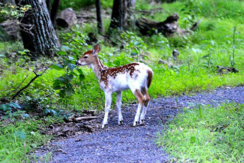 Fawn at Cowans Gap State Park