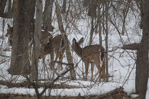 Deer at Evansburg State Park