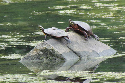Turtles at Gifford Pinchot State Park