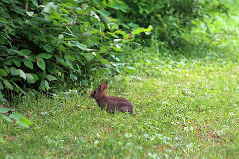 Rabbit at Leonard Harrison State Park