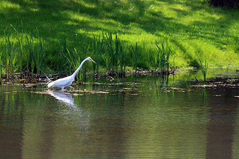 Egret at Little Buffalo State Park
