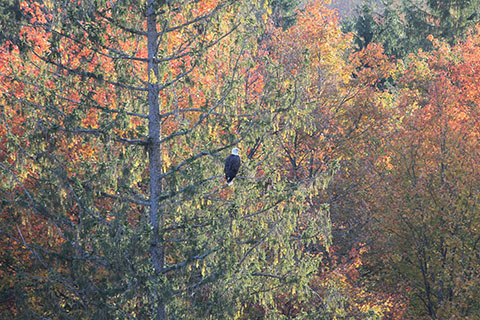 Eagle at Lyman Run State Park