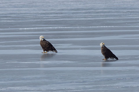 Eagles at Marsh Creek State Park