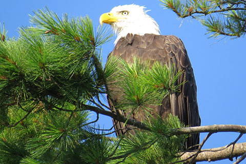 Eagle at Prince Gallitzin State Park