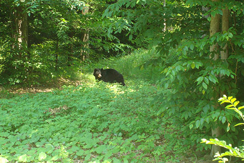 Bear at Worlds End State Park