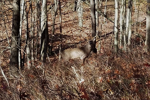 A buck stands in a state forest during hunting season.