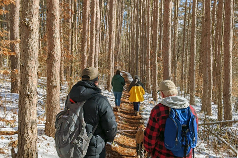 People hike down a trail lined with tall pine trees in winter with snow on the ground.